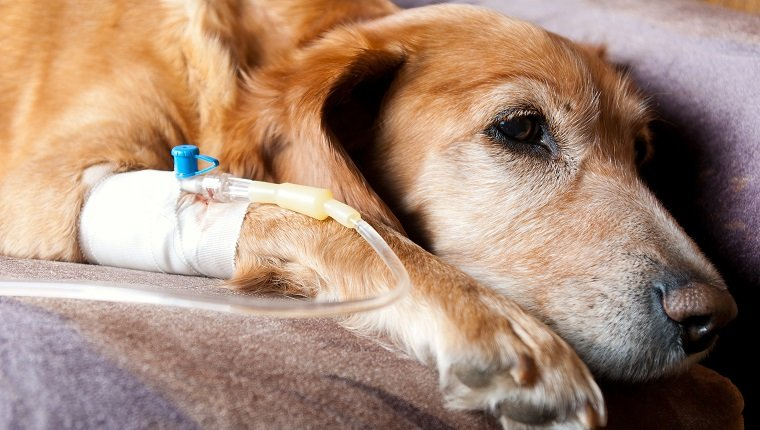 tired dog lying on bed with cannula in vein taking infusion