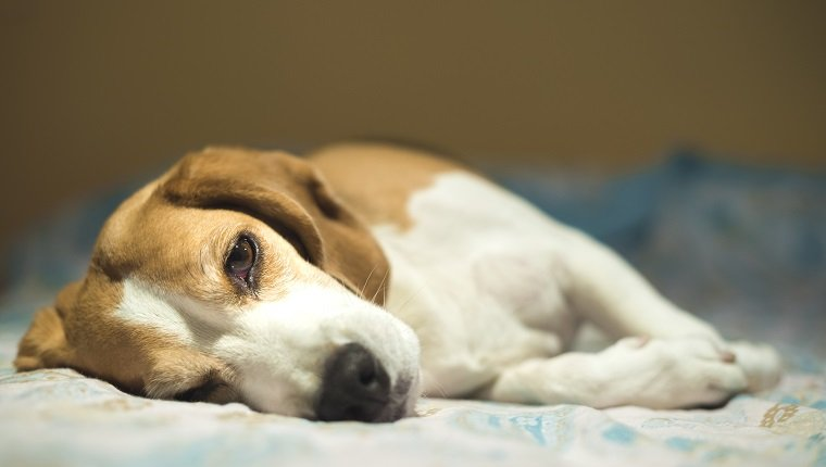 A beagle dog resting in the bed