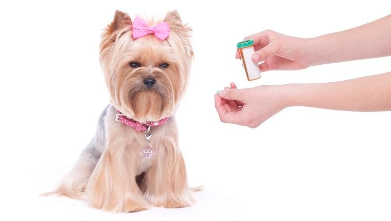 Yorkshire Terrier being given medicine.