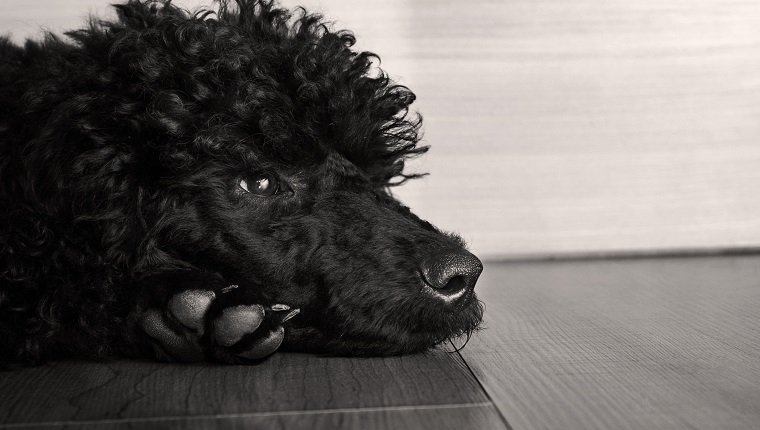black cute poodle dog on floor, watching sadly
