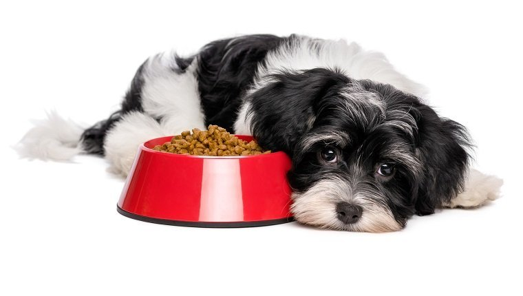 Cute Bichon Havanese puppy dog is lying beside a red bowl of dog food and looking at camera - isolated on white background