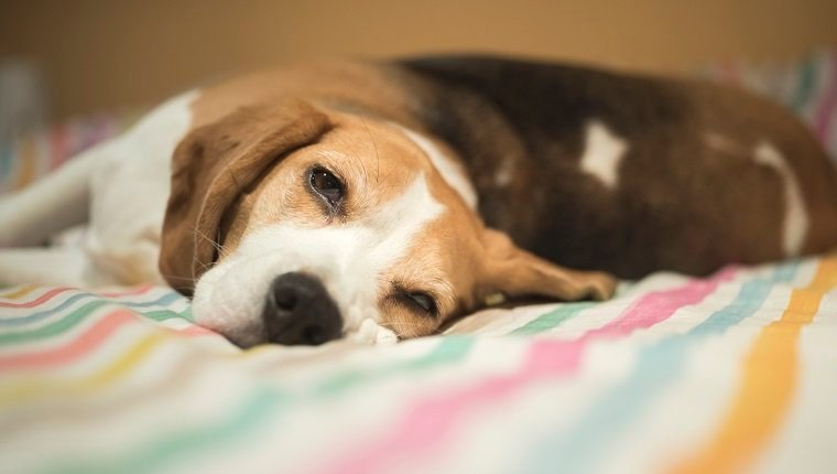 A beagle dog rests on the bed after a long walk