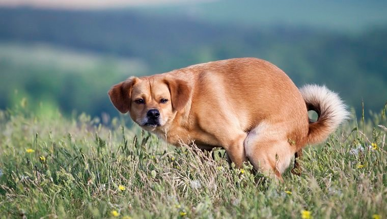 Funny dog pooping in the grass
