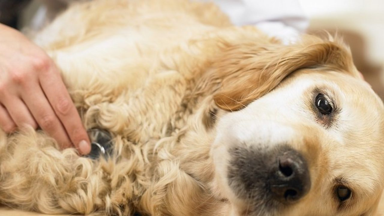 Lupus In Dogs Symptoms Causes Diagnosis And Treatment Dogtime