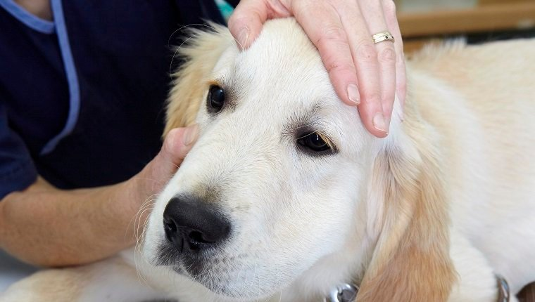 Labrador puppy being checked over by a vet. Checking eyes