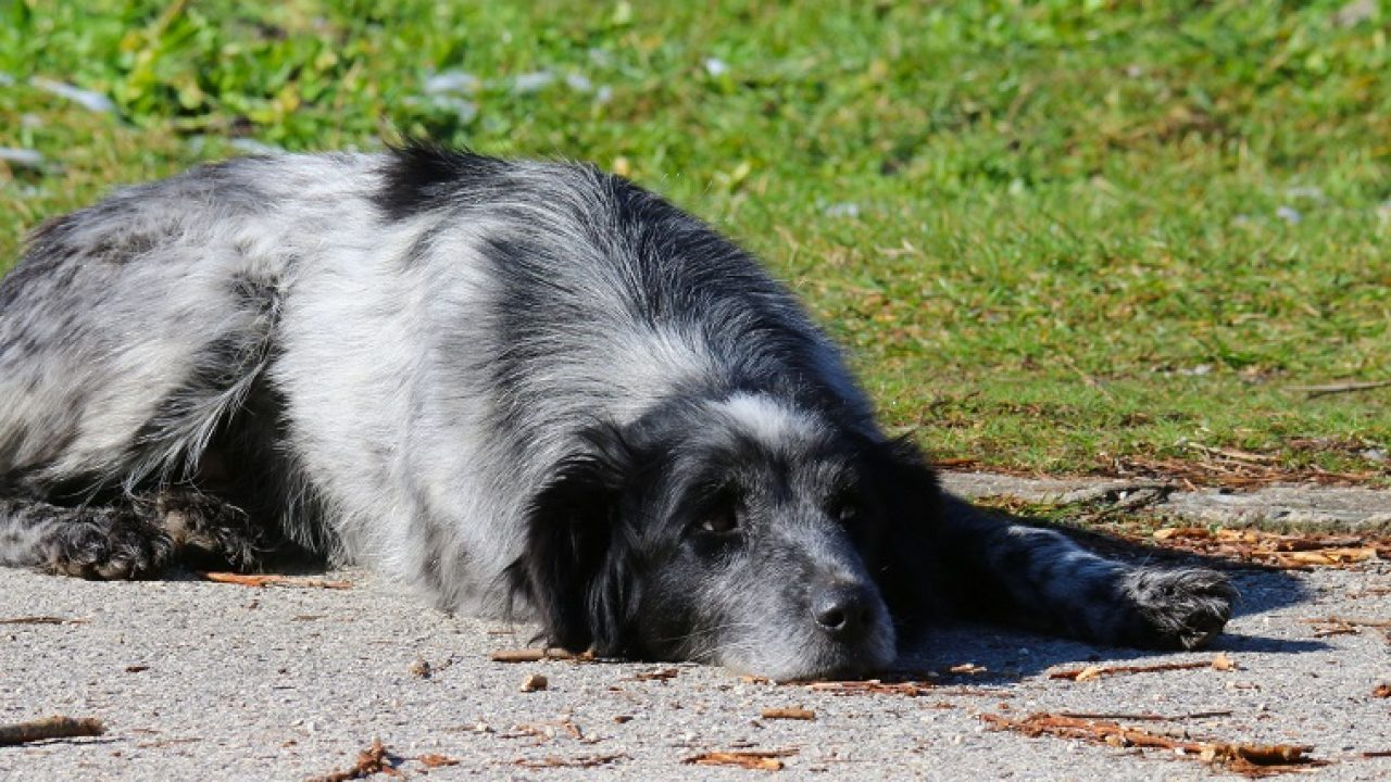 Amitriptyline For Dogs: Uses, Dosage, And Side Effects - Dogtime