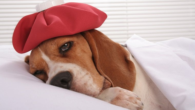Cute sick little hound lying in bed with ice pack on her headSome other related images: