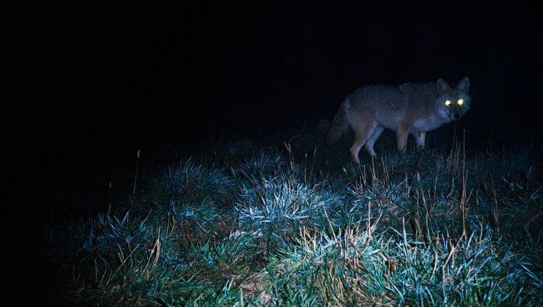 Glowing eyes of eastern coyote hunting at night.