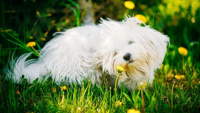 Funny White Bichon Bolognese Dog Sitting In Green Grass and sniffs dandelion flowers in Park