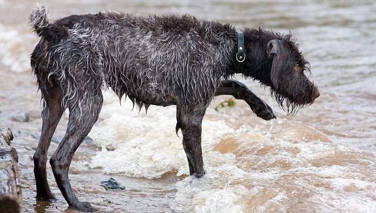 hunting dog german wirehaired pointer on the river