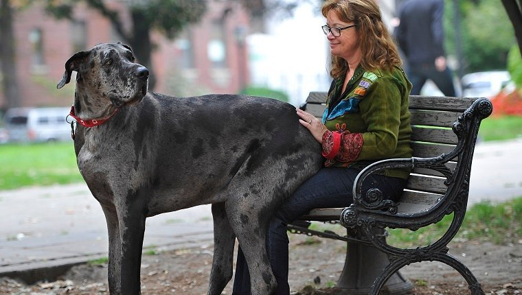 TORONTO, ON - SEPTEMBER 19 - Morgan sits on owner, Cathy Payne's lap in a downtown park on a walk. An Ontario dog is the world's tallest female dog and will be entered into the 2014 Guinness Book of Records. Her name is Morgan and she's a 5 yr old Great Dane which weighs 214 lbs and stands 38.6 inches tall.. September 19, 2013.