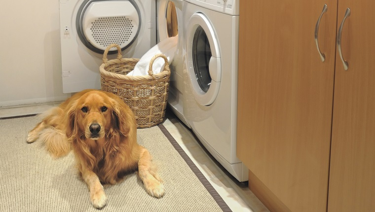 Golden retrever in Laundry room