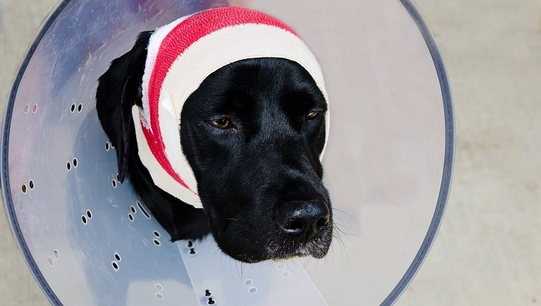 black lab after surgery for a pinna hematoma with bandages around head and a protective collar.