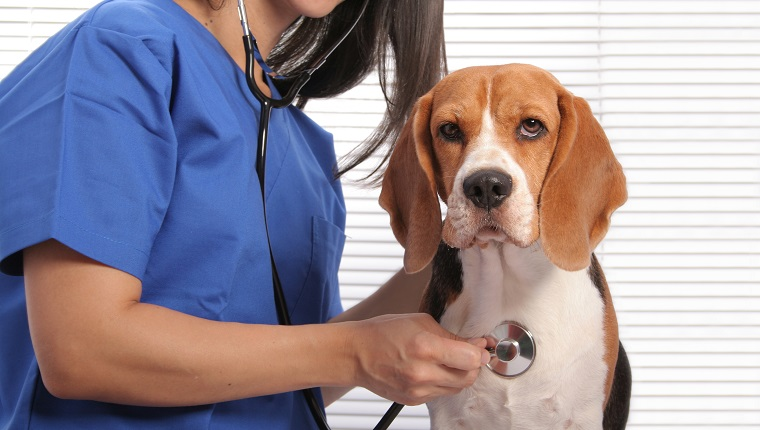 Cute beagle dog getting an exam at the veterinarian's office. Focus is on the dog.Some other related images: