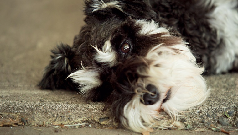 Black and white mini schnauzer dog lying down with sad expression on face.