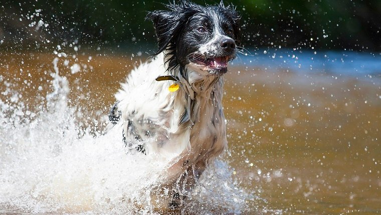 Frisian Stabyhound rose from the water!Running dog in the water.
