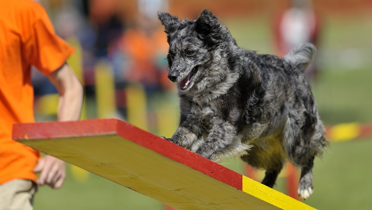 Mudi dog on agility course, see-saw or teeter obstacle