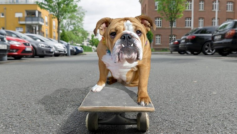 English bulldog sitting on skateboard in street.
