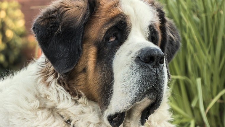 St. Bernard dog laying in the garden. this breed is prone to taurine deficiency.