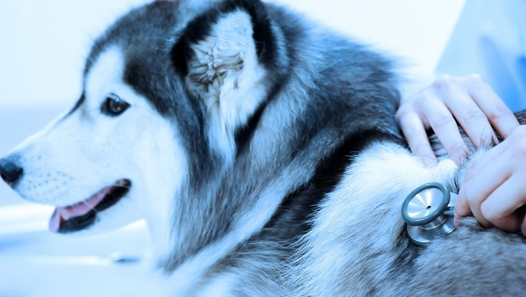 veterinarian examining cute siberian husky at hospital take with blue filter