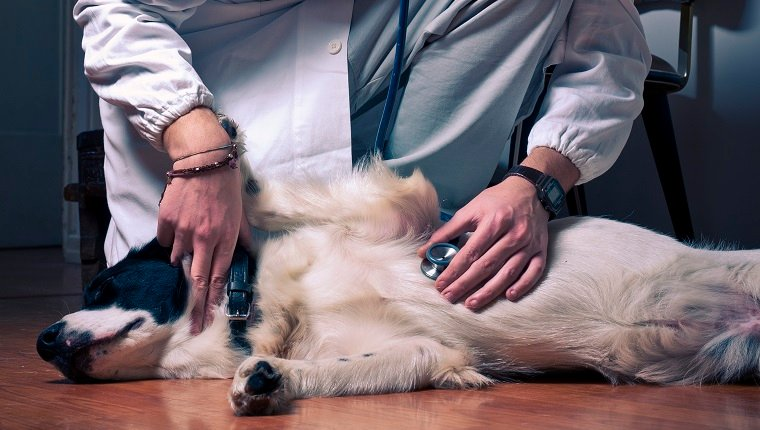 Photo of a young guy in a doctor's coat, listening to the heart of what seems a sick dog