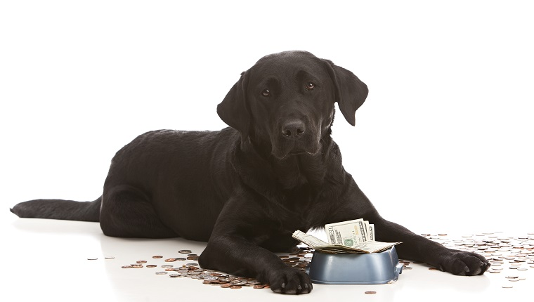 Adorable black lab puppy by her food dish filled with money. Isolated on white with room for your text.