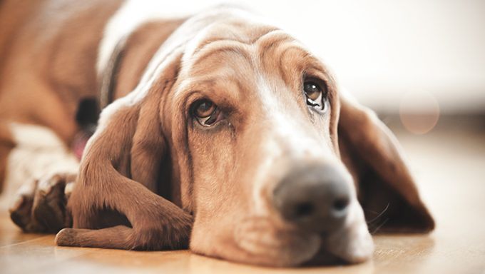 basset hound with tears