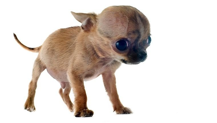 portrait of a fragile purebred puppy chihuahua in front of white background