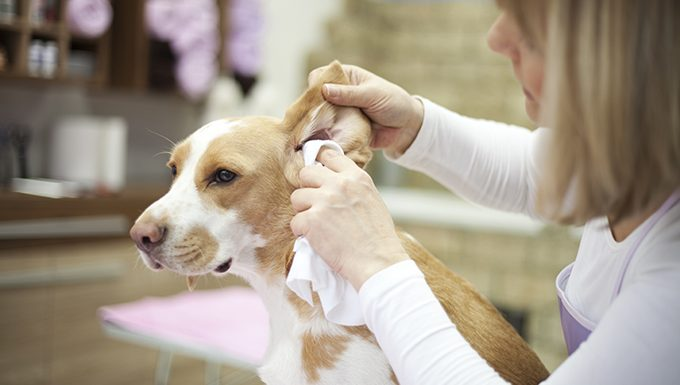 owner cleaning dogs ears