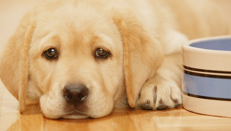 Golden Retriever puppy lying down by bowl, close up, close-up
