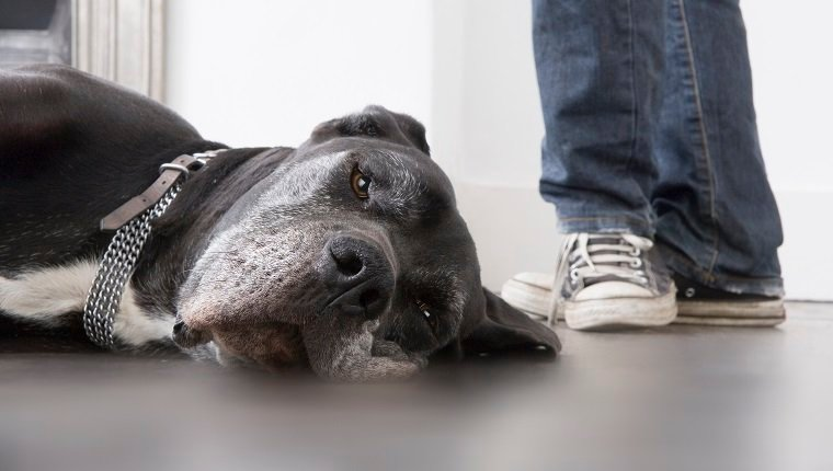 Dog lying on floor, man standing in background, low section