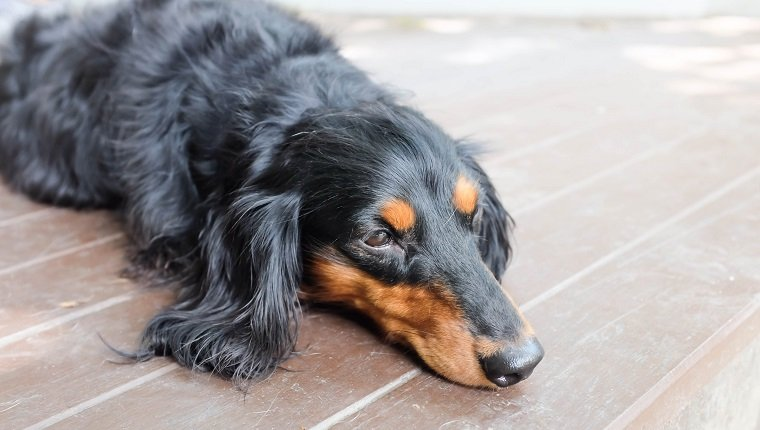 sleepy Dachshund (Longhaired) dog on the floor, possibly suffering from polycythemia