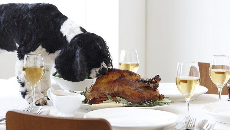 600-03891320 © Yvonne Duivenvoorden Model Release: No Property Release: Yes Cocker Spaniel Eating Turkey on Table