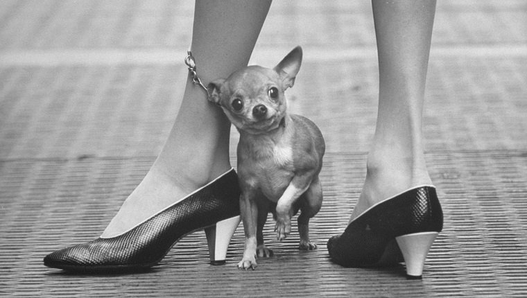 Pet chihuahua's leash wrapped around fashionable owner's leg.