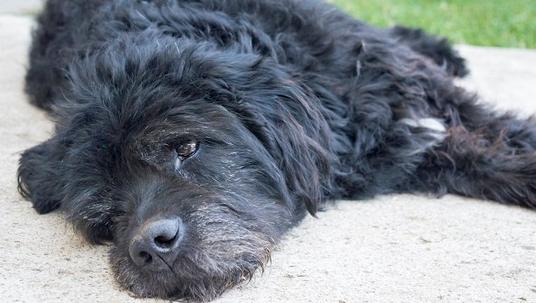Portrait of an old and tired big black dog lying in the backyard