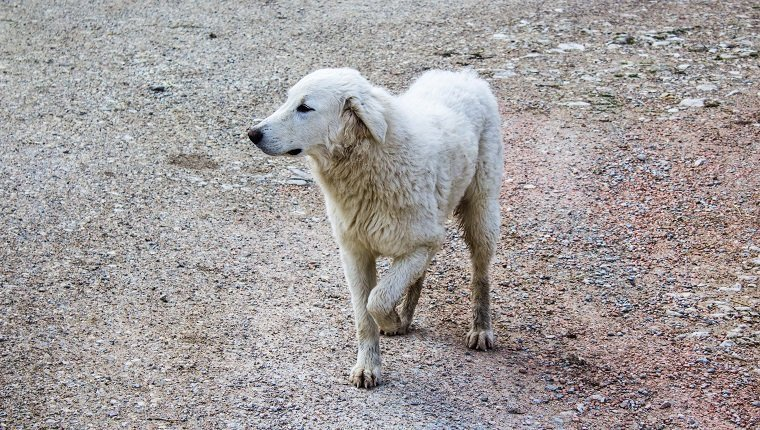 A jung limping maremma sheepdog trying to walk with 3 legs on a ground made of stones