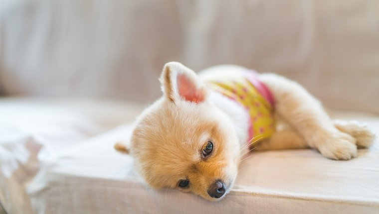 Tired and sleepy pomeranian dog wearing t-shirt, sleeping on sofa, with copy space, concept of hanging over or Monday work. dog might have symptoms of hyperkalemia.