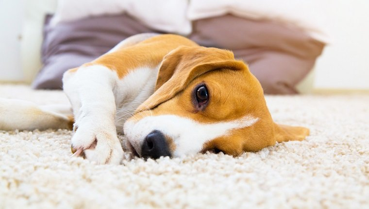 Tired dog on carpet. Sad beagle on floor. Dog lying on soft carpet after training. Beagle with sad opened eyes indoors. Beautiful animal background.
