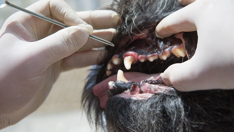 The vet is using the tool for the treatment of gingivitis in the open mouth of the dog under anesthesia.