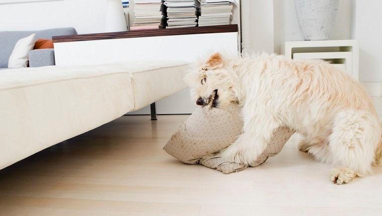 Dog biting pillow in living room
