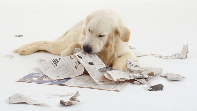 A Golden Retriever tears a newspaper apart with its teeth while lying on the floor.