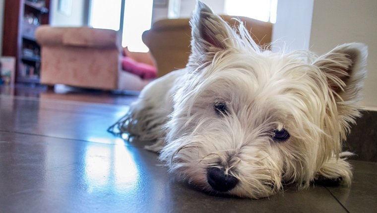 A white West Highland terrier dog looking rather sad, or possibly has pulmonary fibrosis