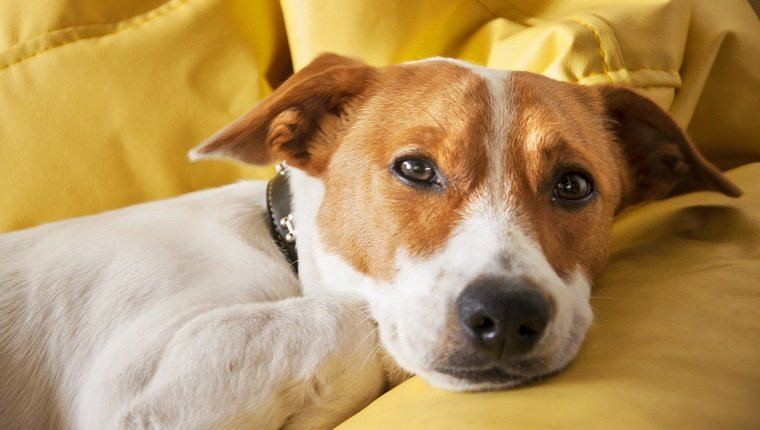 Jack Russell Terrier, dog, sofa, yellow, lonely, cute.