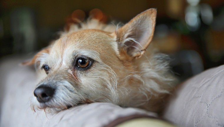 Depressed Cairn Terrier relaxing on couch with shallow depth of field.