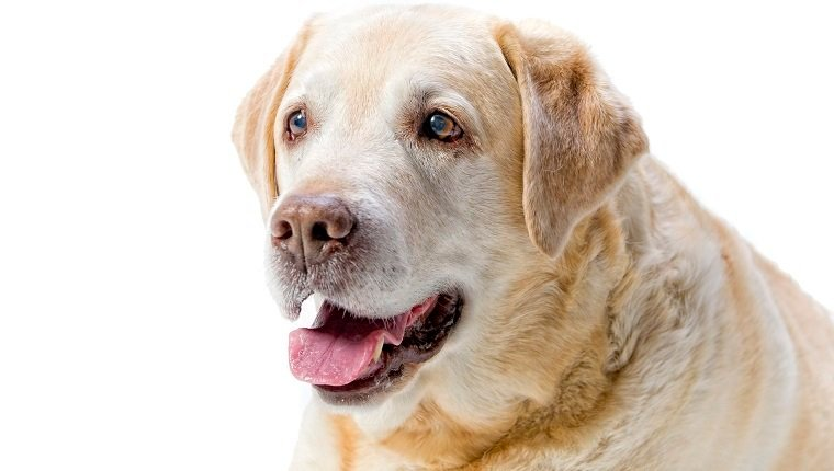 elderly golden labrador dog