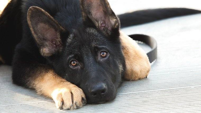 Beautiful German Shepherd puppy dog lying down with a sad and lonely expression on his face. Dog is mostly black, with brown tips on feet and ears. He is looking into the camera with his ears up, showing that he is alert. No people. High resolution color photograph with room for your copy. Horizontal composition.
