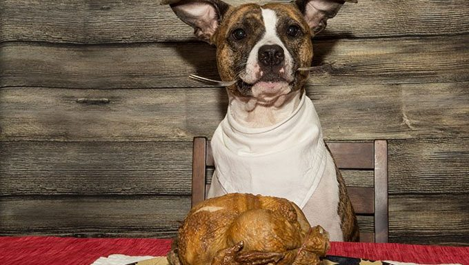 dog at table with thanksgiving turkey