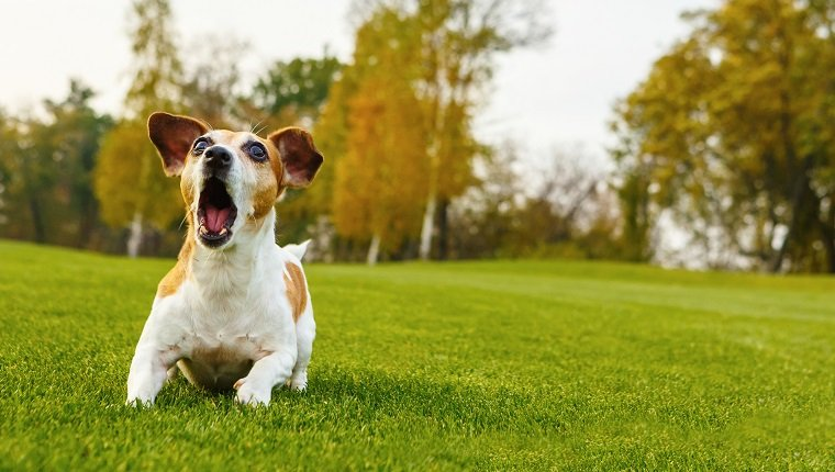 Small dog barking (screaming, talking, complaining). Attacking Jack Russell terrier. lying on natural background green grass with trees.