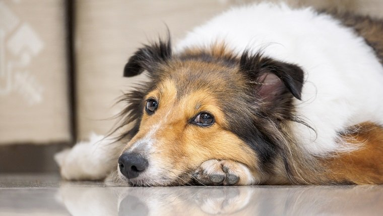 Close-up face of cute sheepdog lying on floor and looking blankly, focus on eyes, Shallow Depth of Field