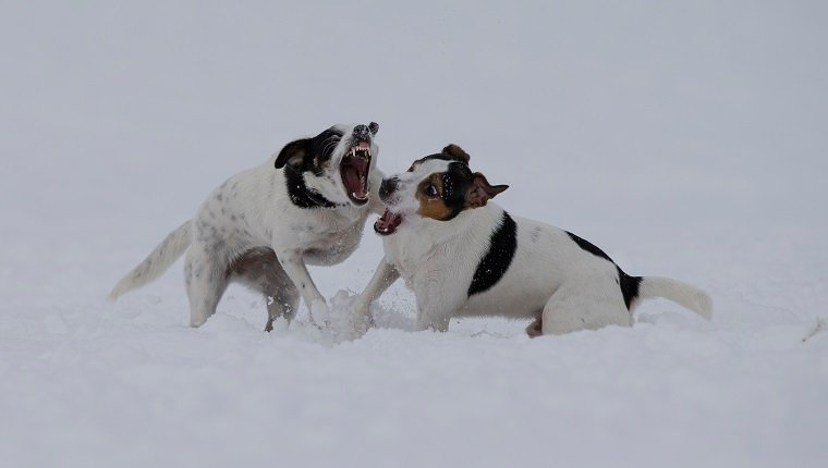Crossbreed dogs playing in snow